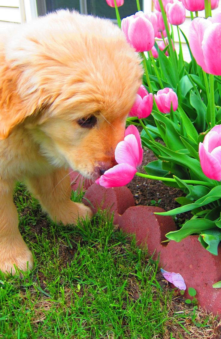 Lovely puppy with Tulips/This is our Golden retriever who still stops to smell the flowers out doors or inside the house