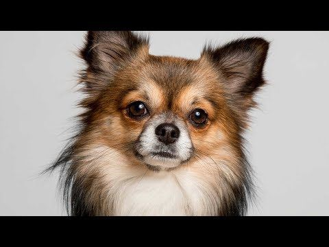 Types Of Chihuahuas Full Length Detailed 2019 Version Youtube