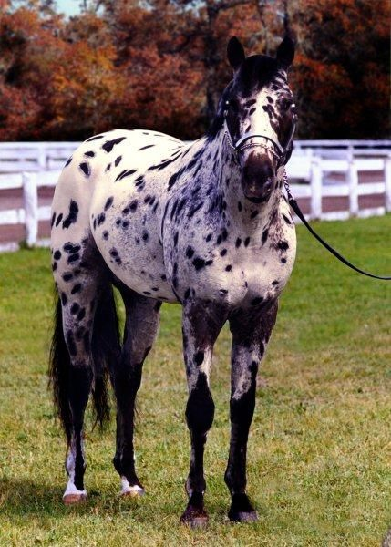 Johnny is a 1999, 15.2 hand, bay leopard stallion sired by World & National Champion Gowin.