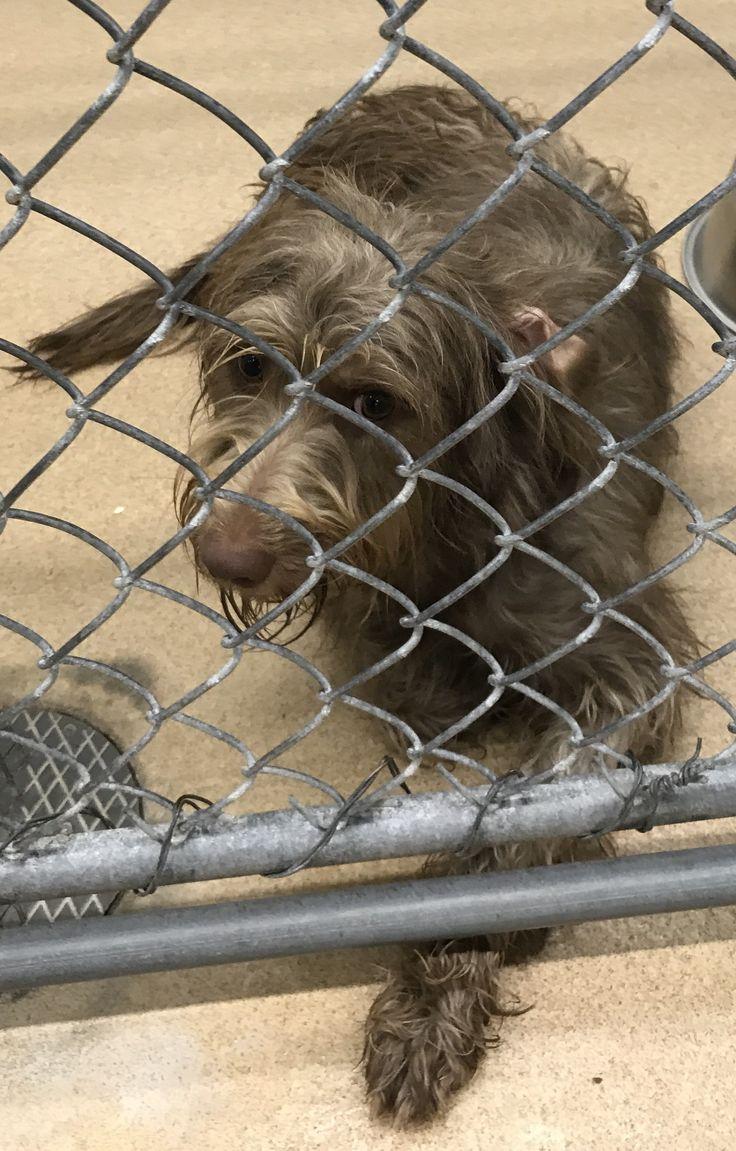 Labradoodle dog for Adoption in Zanesville, OH. ADN-715236 on PuppyFinder.com Gender: Female. Age: Young