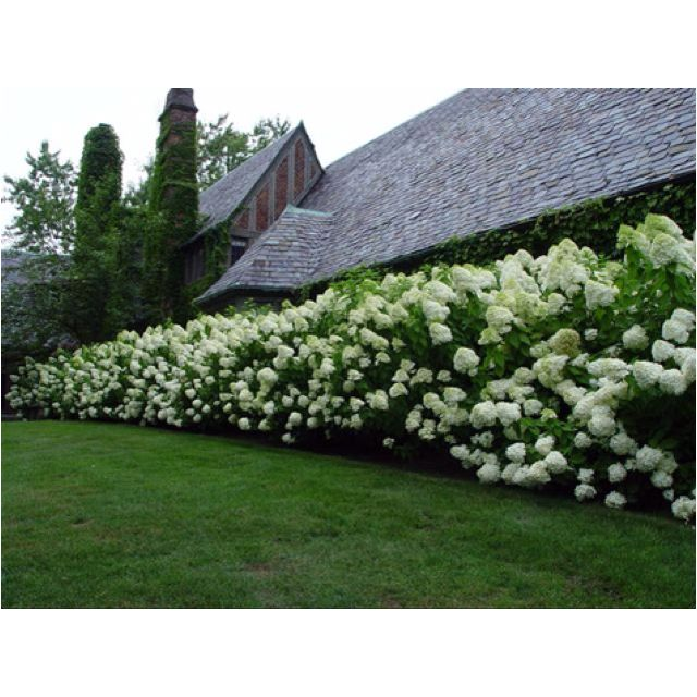 Limelight hydrangeas. They grow up to 8 ft tall, can grow in full sun or shade and can tolerate dry soil.