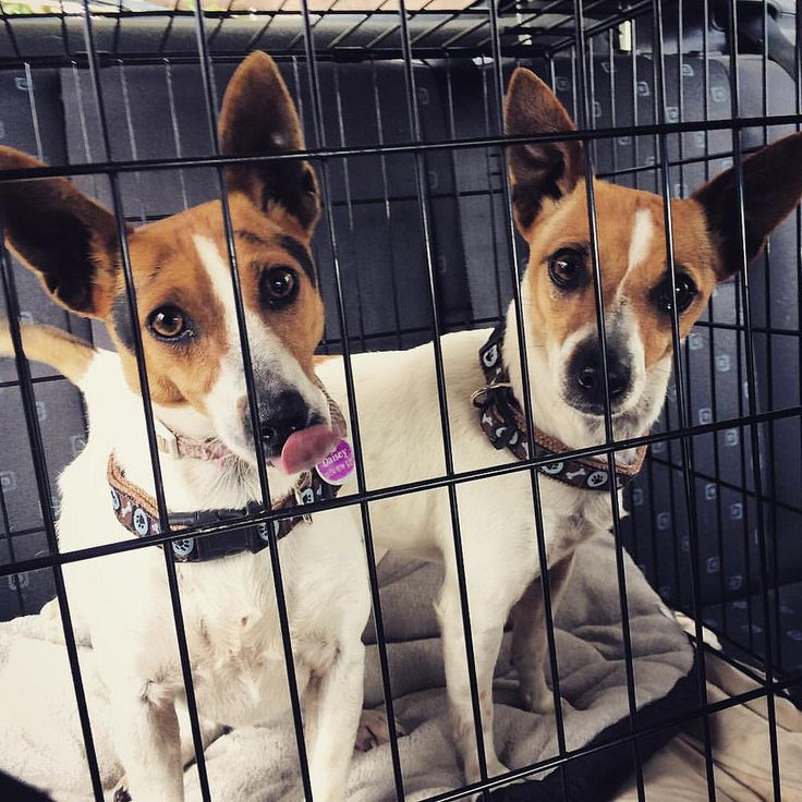 Daisy & Dora were surrendered to #Renburyfarmanimalshelter late Thursday afternoon.  With names like theirs they just had to be rescued immediately by #sydneyanimalsecondchancerescue even without a photo and I was the lucky one to jailbreak them from the