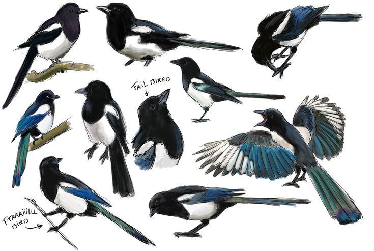 Magpie practice by namu-the-orca on DeviantArt
