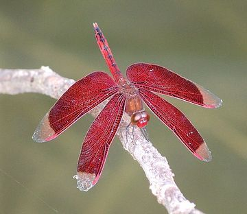Google Image Result for http://adopttaiwan.files.wordpress.com/2008/10/taiwan-red-dragon-fly.jpg