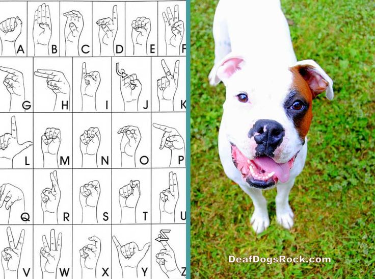 Lately I Ve Been Getting So Many Questions On Our Deaf Dogs Rock