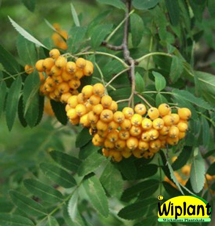 Sorbus aucuparia var. xanthocarpas. Gulfruktig rönn. Höjd: 4-12 m.