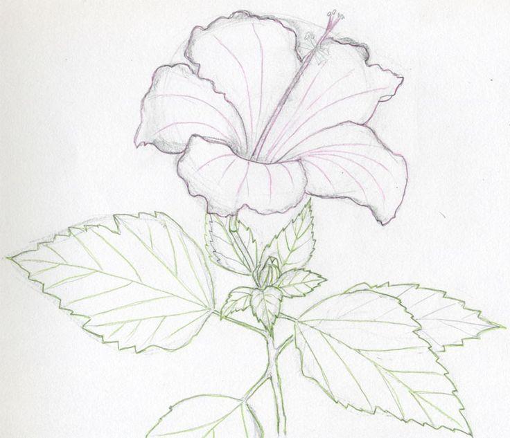 Hawaiian Flower Line Drawing : Hawaiian flowers pencil drawings