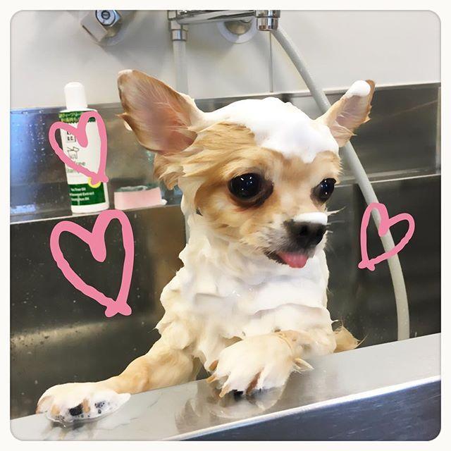 . . シャンプーのしかた教えてもらって こたさんお風呂🛀💕 . ふわふわモコモコいい香り❤️🐶✨ . #愛犬 #dog #シャンプー #ふわふわ #チワワ #ポメラニアン #こたろう