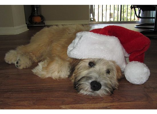 Our Wheaten Terrier Puppy, Buttercup