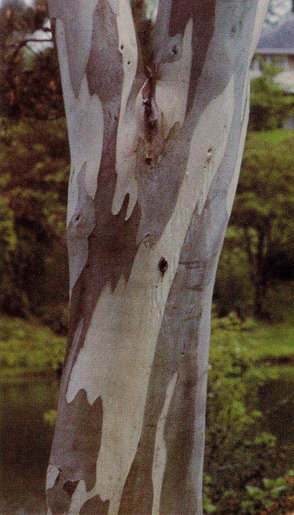 Eucalyptus niphophila bark. Photographs by Pamela Harper except where noted.