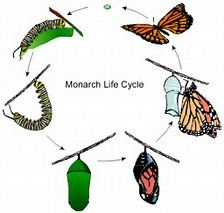 Monarch Butterfly Life Span