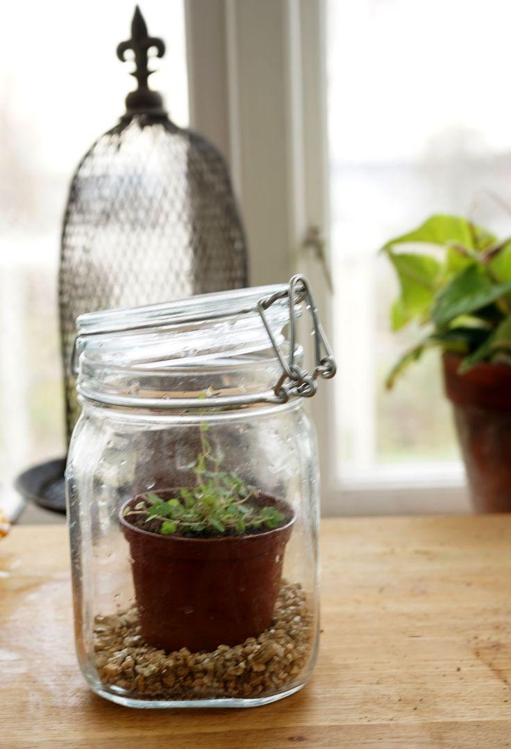 Stickling får luftfuktighet i miniväxthus av konservburk