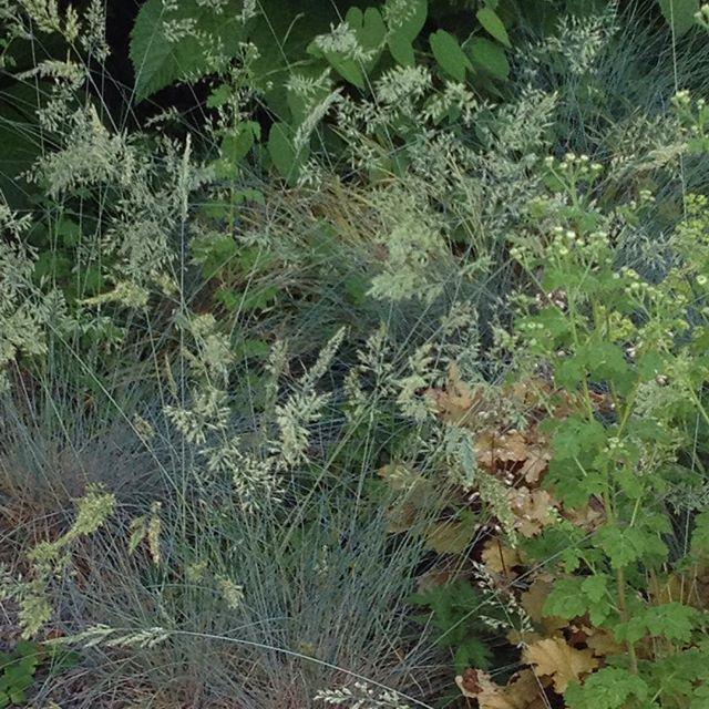 #mindfulness#achtsamkeit#gardening#garten#natur#nature#naturelovers#landliebe#landlust#bauerngarten#gartenglück#gartenliebe#wachstum##growth#flowers#blumen#floral#structure#life#leben#blauschwingel#ziergras#feverfew#mutterkraut#summer#sommer#blumenbeet
