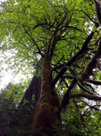 MacMillan Provincial Park - Cathedral Grove - Port Alberni BC - the most accessible Giant Trees on the planet!