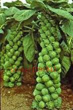 200 UNIDs мини семена овощных культур Семена капусты нет ГМО семян для домашнего сада растения легко расти (Китай (материк))