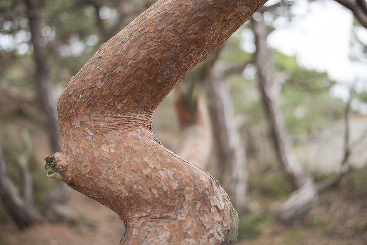 Särö, Sweden, Wrinkled tree, 2014-11-29