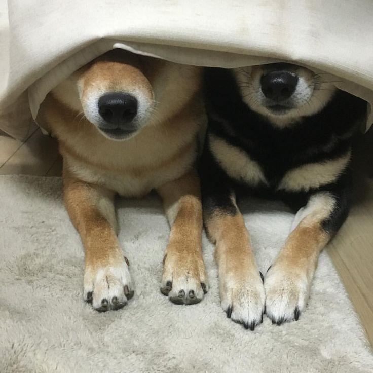 柴犬ひなおそら just like Momoko and Fumi...
