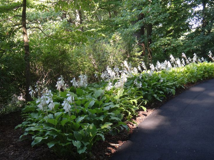 Hosta 'Royal Standard' in full bloom - catch its sweet fragrance!