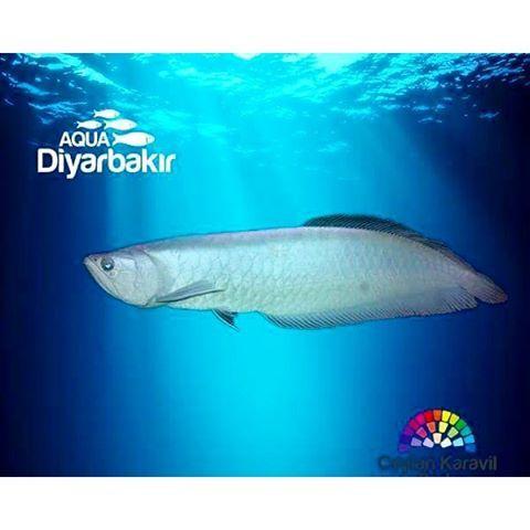 【aqua_diyarbakir】さんのInstagramをピンしています。 《🐟✅ Gümüş Aravana Baligi💙 Latince Ad: Osteoglossum bicirrhosum Corafik Kökeni: Amazon nehir sistemi. Davranış Biçimi: Agresif💙💙💙💙💙💙💙💙💙💙💙💙💙💙💙💙💙💙💙 #aquarium #fish #fishtank #jellyfish #water #saltwater #tank #coral #reef #freshwater #shark #sealife #ocean #sea #betta #aravana #goldfish #reeftank #fishes #水族館 #aquascape #ripleys #clownfish #bettafish #plantedtank #marine #underwater #reefpack #osteoglossum  #aquatic》
