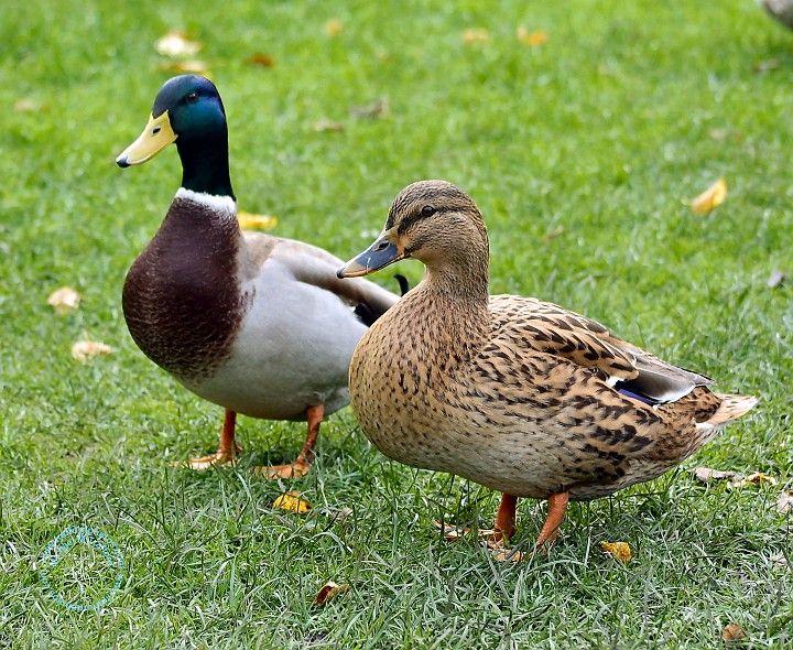 Male and female mallard duck - photo#4