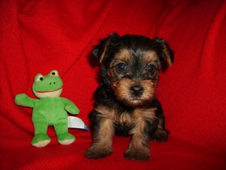 Yorkie Poo's For Sale - The Yorkie Poo
