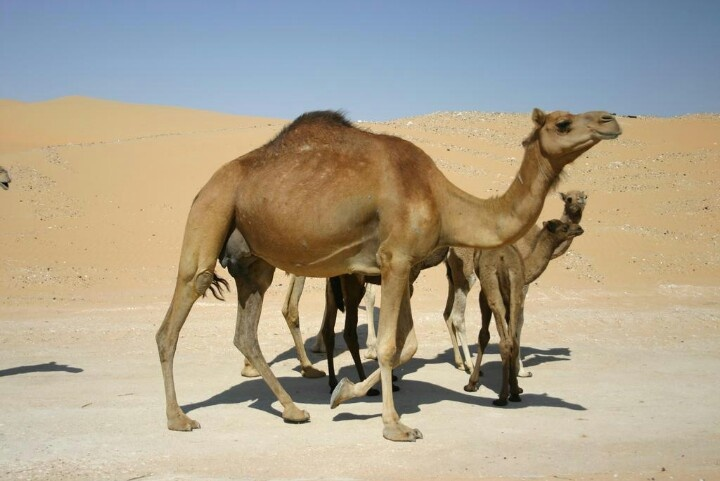 Camal is part of UAE culture | Around United Arab Emirates