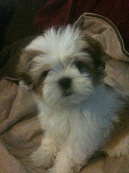 Lhasa Apso puppy - Looks like Gizzy when he was a pup