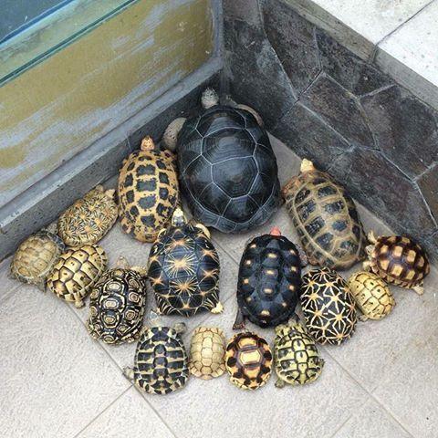 Okay, there are aldabra, sulcata, yniphora, radiata, indian star, leopard tortoise, testudo graeca, testudo hermanii, kleinmanii tortoise, indotestudo forsteni, indotestudo elongata, pancake tortoise, cherry head