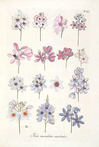 Julittleblog Illustration Flower Zeichnung Sketch Poster Blumen
