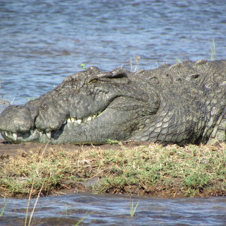 On hot Chobe days, crocodiles enjoy tanning in the sun on sandbars and river banks. Don't get too close though, they're as tough as they look!  #wildlifewednesday  #crocodiles  #choberiver