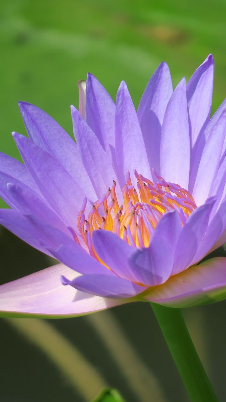 720x1280 Wallpaper Bright Blue Water Lily Flower Bloom