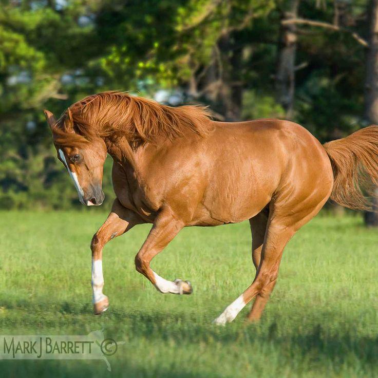 Chestnut Quarter Horse Gelding - photo#37