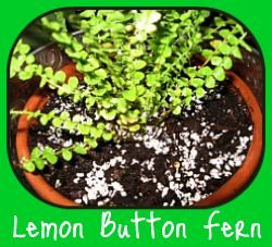 Button fern vs Nephrolepis Lemon Button Fern- not to be confused