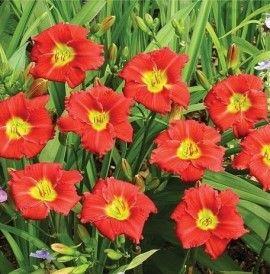 Poze Hemerocallis Longfields Red Baron