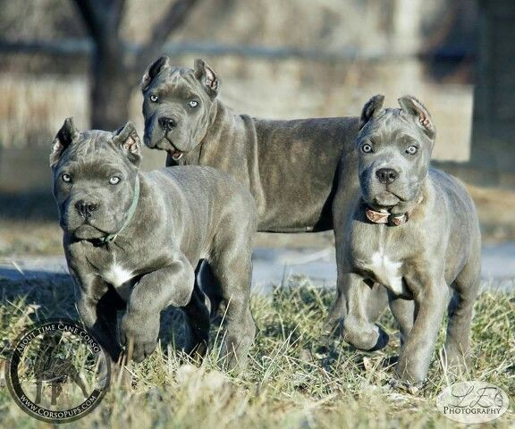 """From """"About Time Cane Corso"""""""