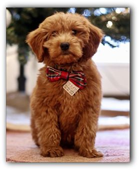 Mini & Toy Goldendoodle Puppies for sale in Illinois, Apricot Goldendoodle Puppies