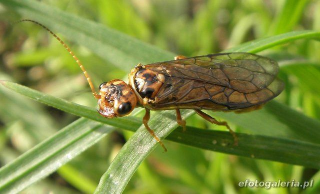 Cephalcia arvensis