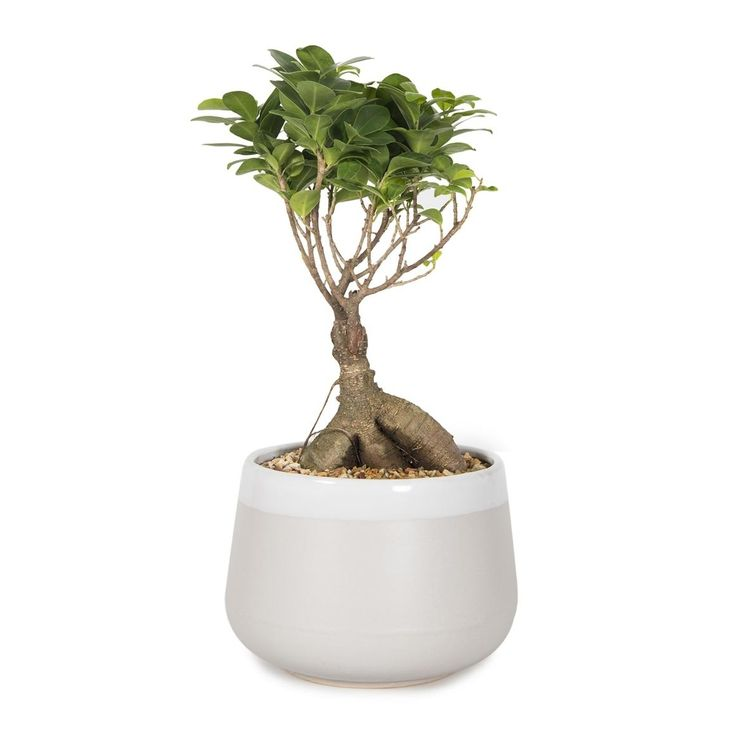 Ficus Ginseng in Ceramic