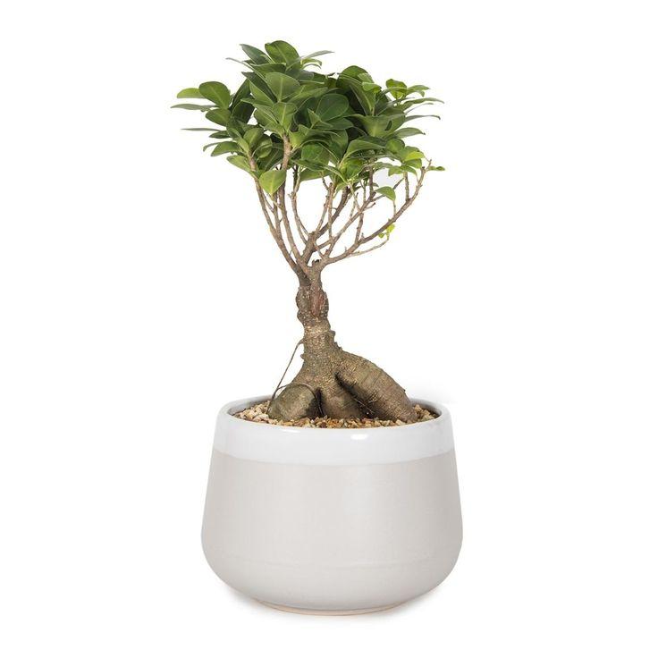 Ficus Ginseng in Ceramic