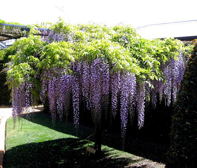 Wisteria tree Next year one of these will be in my front yard. I love wisteria!!!!