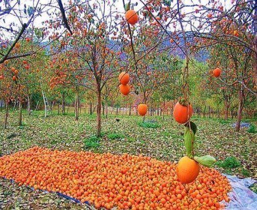 Абхазия осенью .хурма