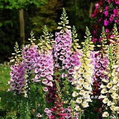 200+ Foxglove Purpurea Mix Flower Seeds , Under The Sun Seeds