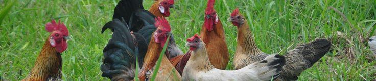 Races de poules pondeuses | Poulailler bio