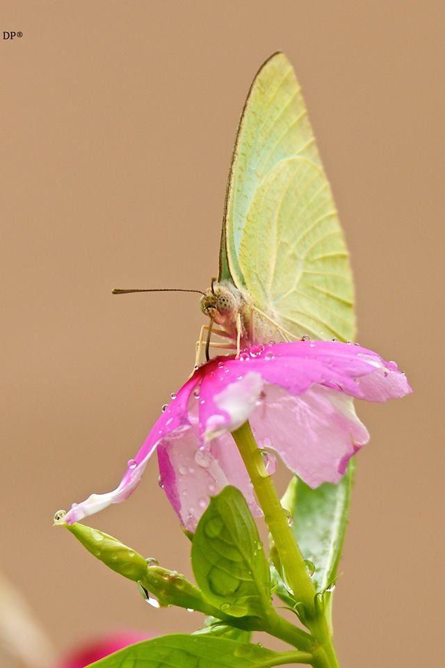 Busy Butterfly.