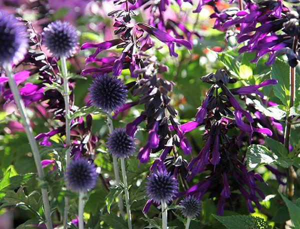 Buy Echinops & Salvia Plant Combination Echinops & Salvia 'Plant Combination': Delivery by Crocus