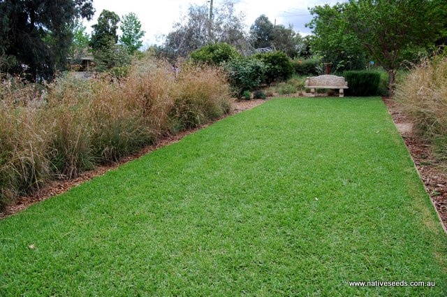 Kangaroo grass for landscaping lawns