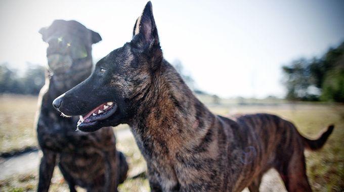 Police K9 Malinois Puppies Malinois Dog Malinois Puppies For Sale