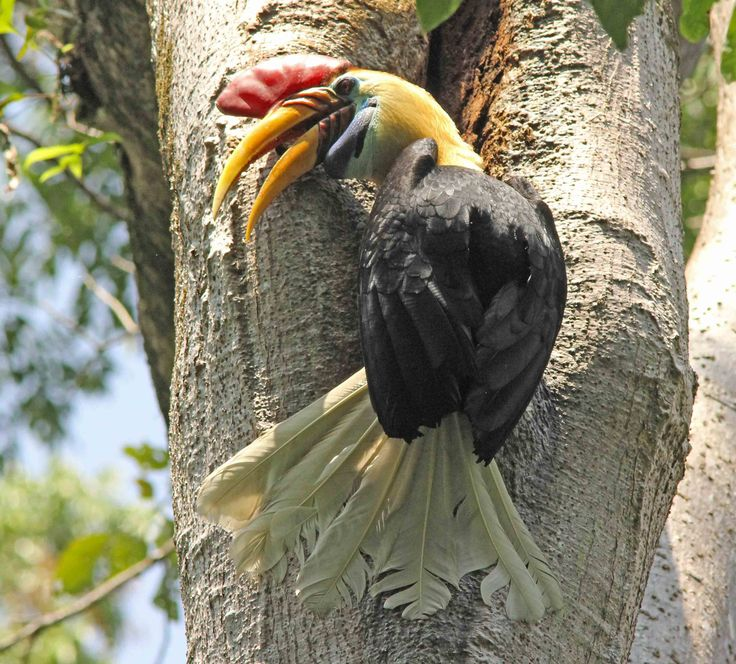 Red Knobbet Hornbil at Tangkoko Nature Reserve