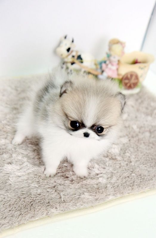 teacup pomeranian for sale in ky the 25 best white pomeranian puppies ideas on pinterest 748