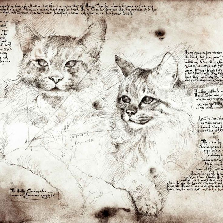 """""""Maine Coon Study"""" A full size Da Vinci style drawing"""